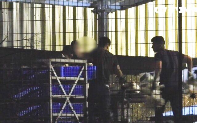 Les travailleurs d'un élevage industriel de poulets ont secrètement été filmés en train de manipuler violemment des oiseaux qui ont été mis en cage dans le cadre d'un projet pilote approuvé par le ministère de l'Agriculture. (Avec l'aimable autorisation de Animals Now)