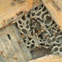 Des dizaines de termites de Formose mangent du bois dans le laboratoire où Nan-Yo Su, professeur d'entomologie à l'université de Floride à Davie, mène des expériences, le 2 mars 1998. (AP Photo/Victor R. Caivano)