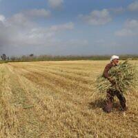 Illustration : un Arabe israélien ramasse du blé dans un champ peu après la récolte, à Burgata. 8 avril 2013. (Crédit : Chen Leopold/Flash90/Fichier)