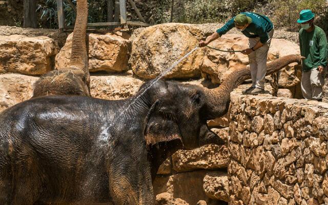 Des éléphants prennent une douche au zoo biblique de Jérusalem par une chaude journée d'été, le 20 mai 2020. (Olivier Fitoussi/Flash90)