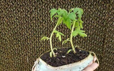 De vieux masques chirurgicaux qui servent de pots à plante. (Autorisation : Pablo Chercasky, directeur de la pépinière de Gilat, dans le sud d'Israël, du Fonds national juif JNF-KKL)