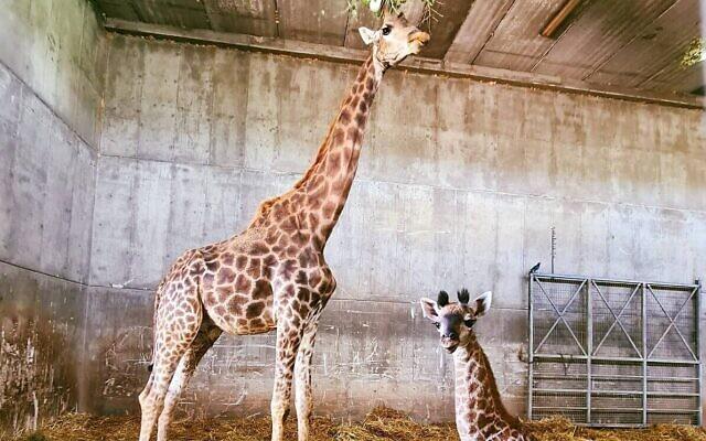 Akia, girafe de 26 ans, et son girafon femelle au zoo biblique de Jérusalem. (Crédit : Zoo biblique de Jérusalem)