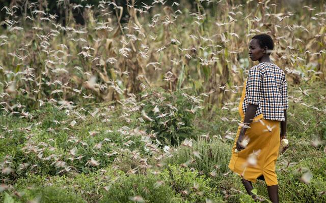 Photo d'illustration : Une agricultrice regarde des nuées de criquets pèlerins dévorer ses récoltes dans le village de Katitika, dans le comté de Kitui, au Kenya, le 24 janvier 2020. (Crédit : AP Photo/Ben Curtis)
