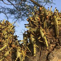 Photo d'illustration : Des criquets pèlerins agglutinés sur un arbre au sud de la ville de Lodwar, dans le comté de  Turkana, dans le nord du Kenya, le 23 juin 2020. (Crédit :  AP Photo/Boris Polo)