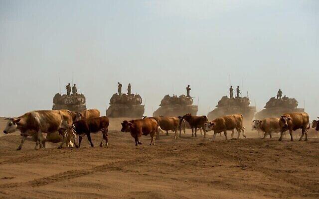 """Une photo prise par Gil Eliahu Biniat montre des vaches passant devant des tanks israéliens sur le plateau du Golan au mois de juillet 2020,  présentée dans le cadre de l'exposition """"Témoignage local"""" qui débutera le 24 décembre 2020 à Tel Aviv. (Autorisation : """"Témoignage local"""")"""