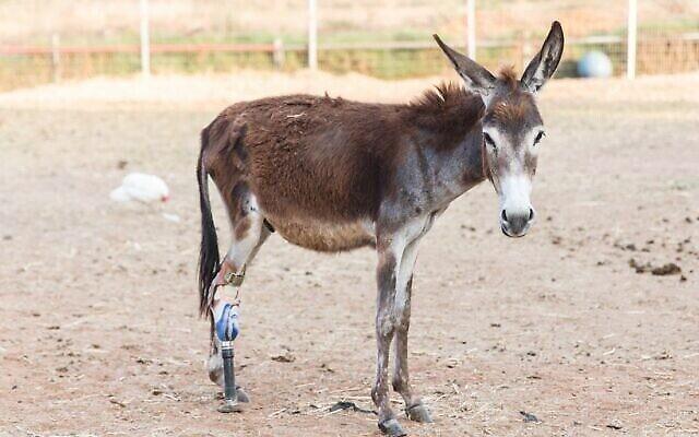 """Un âne sauvé par le refuge pour animaux """"Starting Over"""" au Moshav Herut, dans le centre d'Israël. (Revital Topiol)"""
