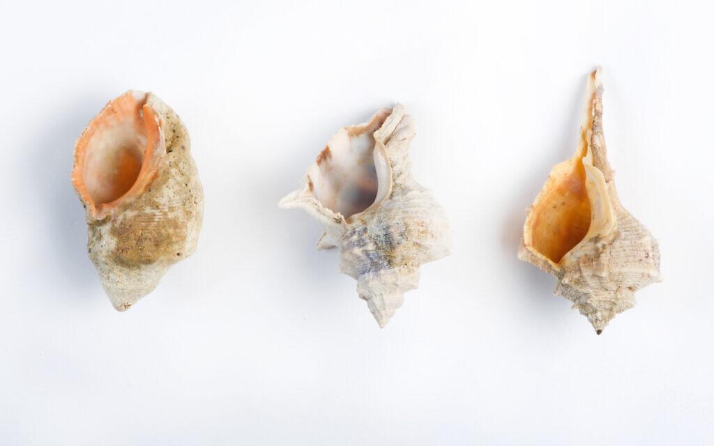 Des espèces de murex découvertes sur les côtes israéliennes, de droite à gauche : Le Murex brandaris; le Murex trunculus, and le Murex haemastoma. (Shachar Cohen, autorisation de Zohar Amar)
