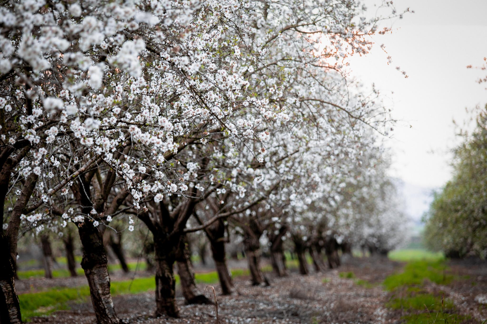 Amandiers en fleurs, le 21 février 2020. (Anat Hermony / FLASH90)