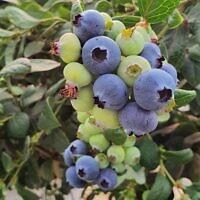 Des myrtilles australiennes cultivées dans des bacs du plateau du Golan seront dorénavant commercialisées, dès 2021, en Israël, en Europe et à Dubaï. (Autorisation : Carmel Berry)