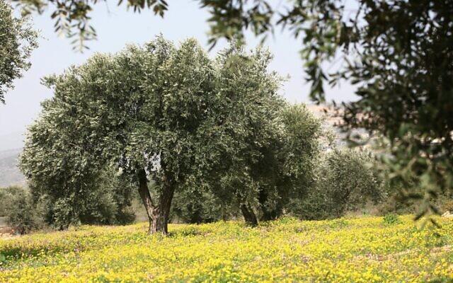 Un olivier entouré de fleurs au printemps en Galilée, dans le nord d'Israël, le 10 février 2008. (Crédit : Nati Shohat/Flash90)