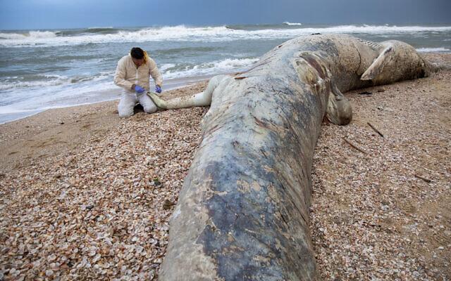 Danny Morick, vétérinaire marin,  prélève un échantillon d'une baleine échouée sur une plage dans la réserve Nitzanim, le 19 février 2021. (Crédit : AP Photo/Ariel Schalit)