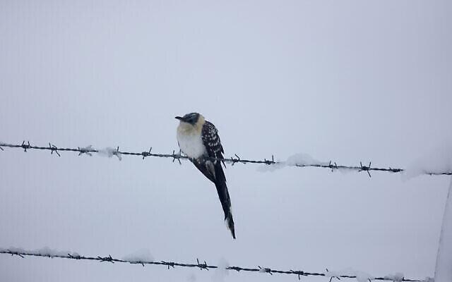 Un oiseau posé sur des barbelés après de fortes chutes de neige sur le Nord du plateau du Golan, le 18 février 2021. (Maor Kinsbursky / Flash90)