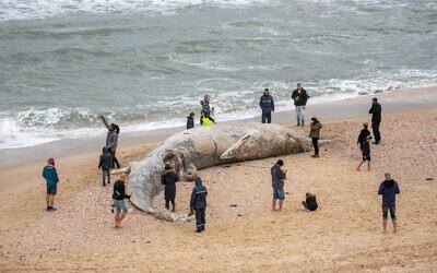 Un baleineau de 10 mètres de long échoué sur la plage de Nitzanim, près de la ville d'Ashkelon, le 19 février 2021. (Crédit : Yossi Aloni / Flash90)