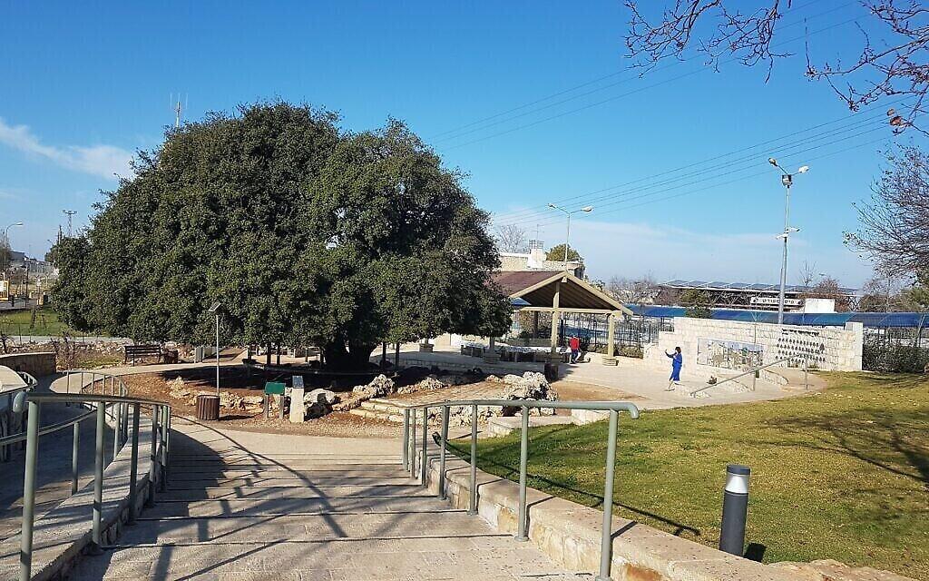 """L'arbre (plus vraiment) isolé, vu de la promenade """"des garçons"""". (Crédit : Aviva et Shmuel Bar-Am)"""