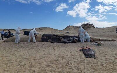 Les vétérinaires procèdent à l'autospie post-mortem d'une baleine échouée sur la plage de Nitzanim, dans le sud d'Israël, le 18 février 2021. (Crédit :  Assaf Kaplan/Autorité israélienne de la Nature et des parcs)