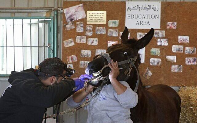 Un médecin inspecte un âne au refuge Safe Haven for Donkeys dans la ville de Rujayb, à l'est de la ville de Naplouse en Cisjordanie, le 25 février 2021 (Crédit : Jaafar ASHTIYEH / AFP)