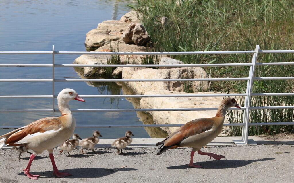 Des canards marchant dans le parc pour enfants de Beer Sheva. (Shmuel Bar-Am)