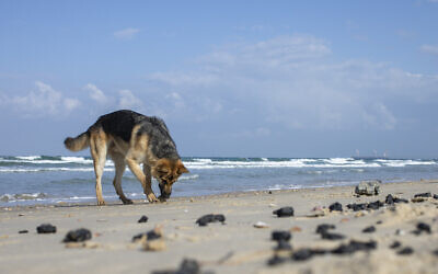 Un chien flaire le goudron issu d'une marée noire dans la mer méditerranée sur une plage de la Réserve naturelle de Gdor, près de Michmoret, en Israël, le 1er mars 2021. (Crédit : AP Photo/Ariel Schalit)