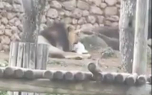 Un lion dévore un lapin au zoo de Jérusalem en mars 2021. (Capture d'écran Twitter)