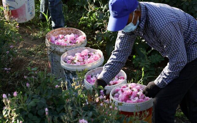 Un ouvrier de la ferme Bin Salman cueille des roses Damascena (Damas) pour produire de l'eau et de l'huile de rose, dans la ville de Taif, dans l'ouest de l'Arabie saoudite, le 11 avril 2021. (Crédit : Fayez Nureldine / AFP)