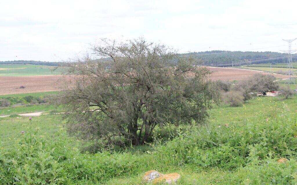 Le jujube d'épine du Christ au début du sentier menant à Tel Tzafit. (Shmuel Bar-Am)