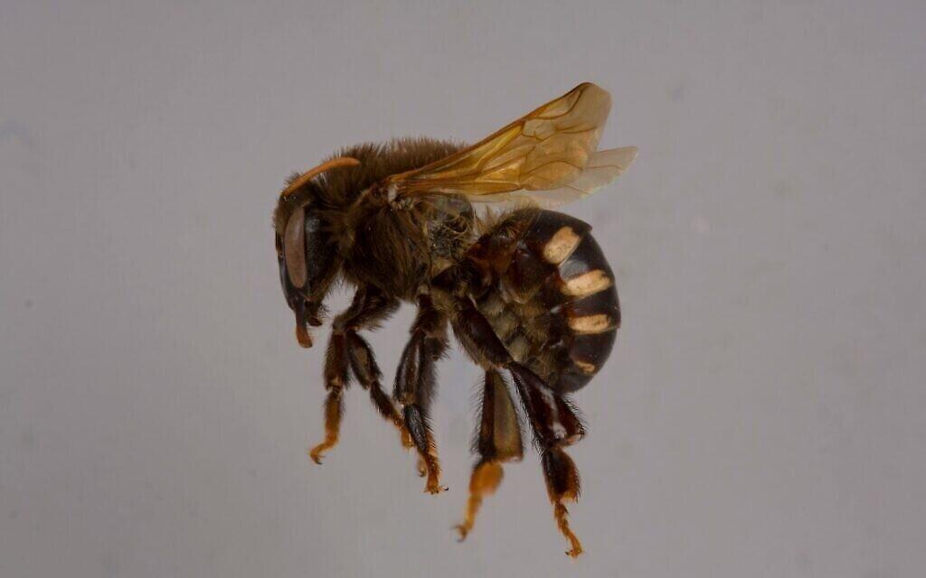 Une femelle de l'espèce Melipona sans dard. (Autorisation du Packer Lab)
