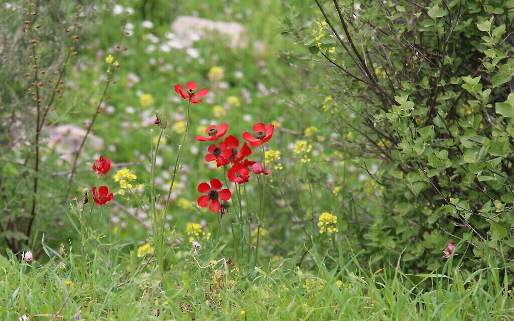 Fleurs parsemant le chemin vers le sommet de Tel Tzafit. (Shmuel Bar-Am)