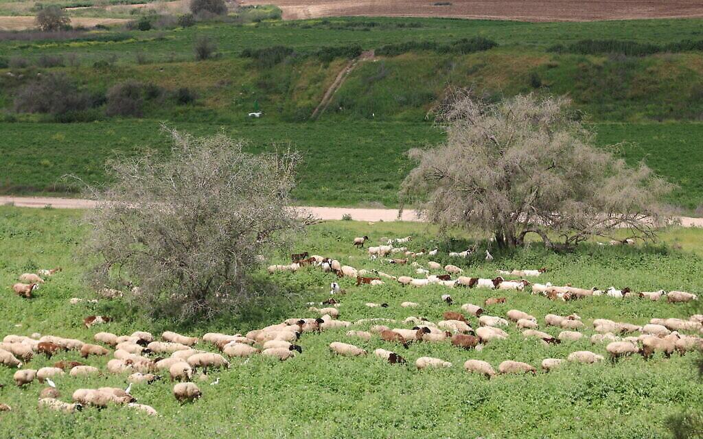 Des moutons paissent tandis que des aigrettes sont sur leur dos dans les pâturages en contrebas de Tel Tzafit. (Shmuel Bar-Am)
