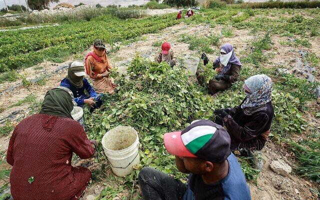 Des femmes travaillent dans un champ de haricots verts dans une ferme de Ghor al-Haditha, à 80 kilomètres de la capitale d'Amman, le 21 avril 2021.  (Crédit : Khalil MAZRAAWI / AFP)