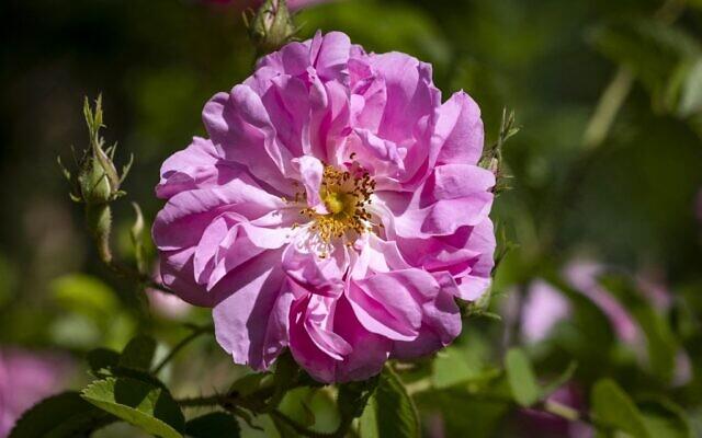 Une rose dans un champ près de la ville de Kelaat Mgouna (ou Tighremt NImgunen) dans la province centrale de Tinghir au Maroc, dans les montagnes de l'Atlas, le 26 avril 2021. (Crédit : FADEL SENNA / AFP)