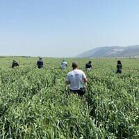 Les volontaires de la ferme HaShomer HaChadash parcourent un champ de blé, grâce à l'application SunDo qui connecte agriculteurs et bénévoles. (Autorisation HaShomer HaChadash)