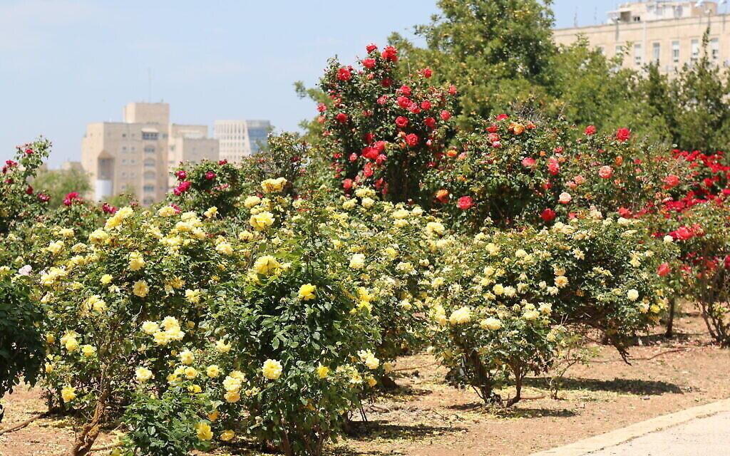Des roses 'Allgold' au Wohl Rose Park à Jérusalem, au mois d'avril 2021. (Crédit : Shmuel Bar-Am)