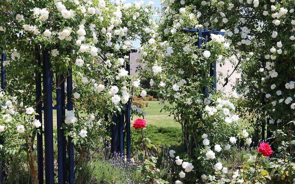 Des roses 'iceberg' dans le jardin de Vienne du Wohl Rose Park à Vienne, au mois d'avril 2021. (Crédit :  Shmuel Bar-Am)