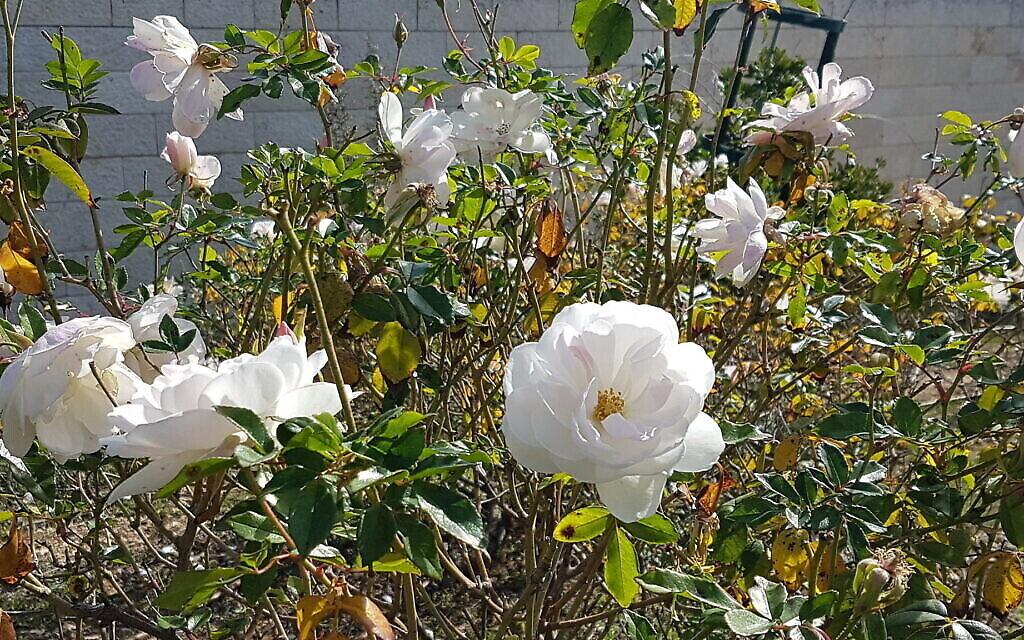 Des roses iceberg au Wohl Rose Park de Jérusalem, au mois d'avril 2021. (Crédit :  Shmuel Bar-Am)
