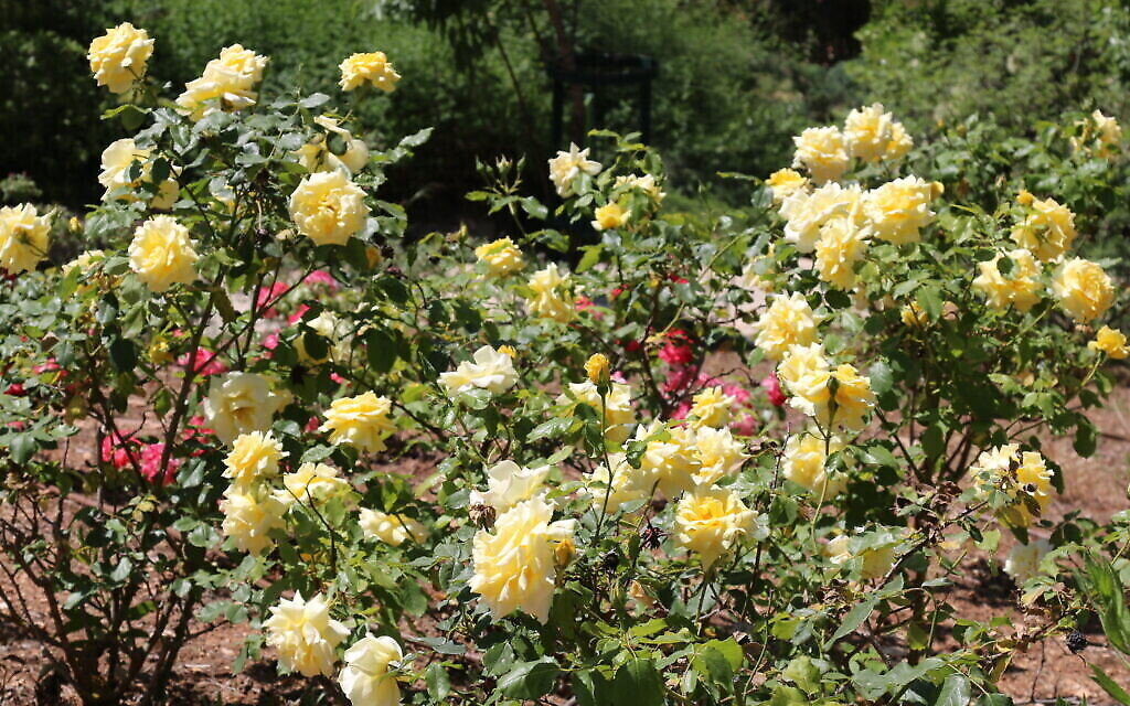 Des roses de Ramat Gan au Wohl Rose Park de Jérusalem, au mois d'avril 2021. (Crédit : Shmuel Bar-Am)