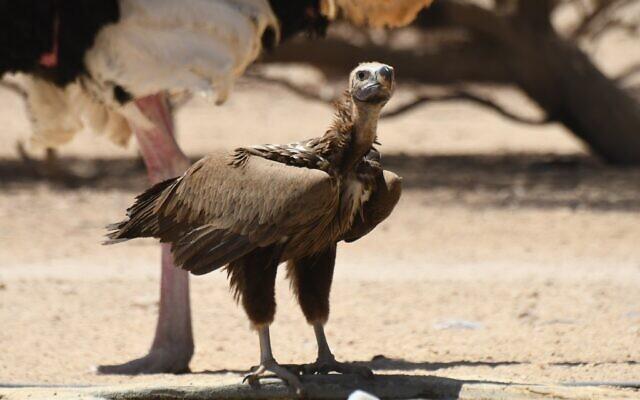 Un vautour à tête plate visite la réserve naturelle de Hai Bar à Yotvata dans le sud d'Israël, le 29 avril 2021. (Crédit : Noam Weiss/ International Birding and Research Center, Eilat)