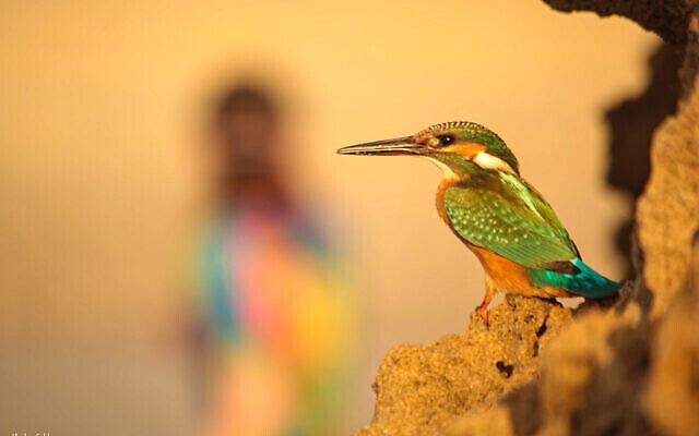 Le photographe Moshe Gold a dû résister à l'envie d'exposer trop de photos d'oiseaux lors de sa première exposition de photographies qui a ouvert ses portes le 3 juin 2021 à la Cinémathèque de Jérusalem (avec l'aimable autorisation de Moshe Gold).