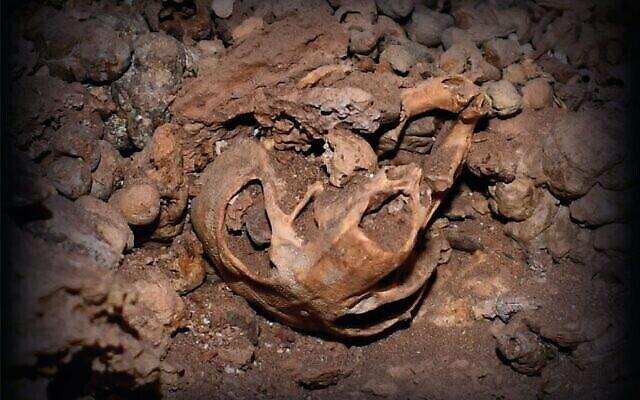 Crâne d'un rat à crinière trouvé dans le désert de Judée. (Crédit : Université de Haïfa)