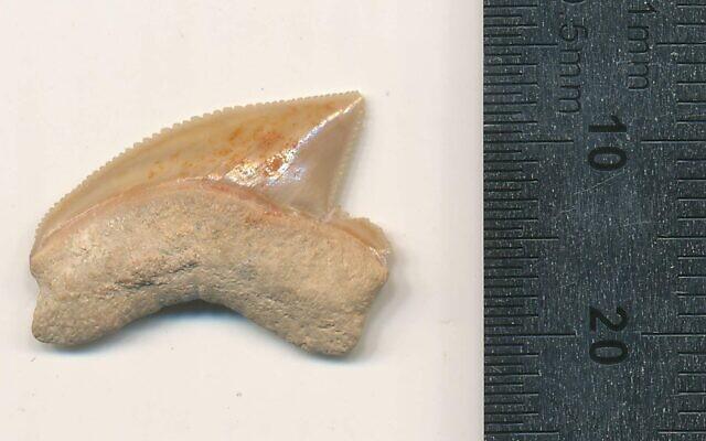 Une dent fossilisée de Squalicorax trouvée lors d'une fouille archéologique dans la Cité de David à Jérusalem. (Crédit : Omri Lernau)