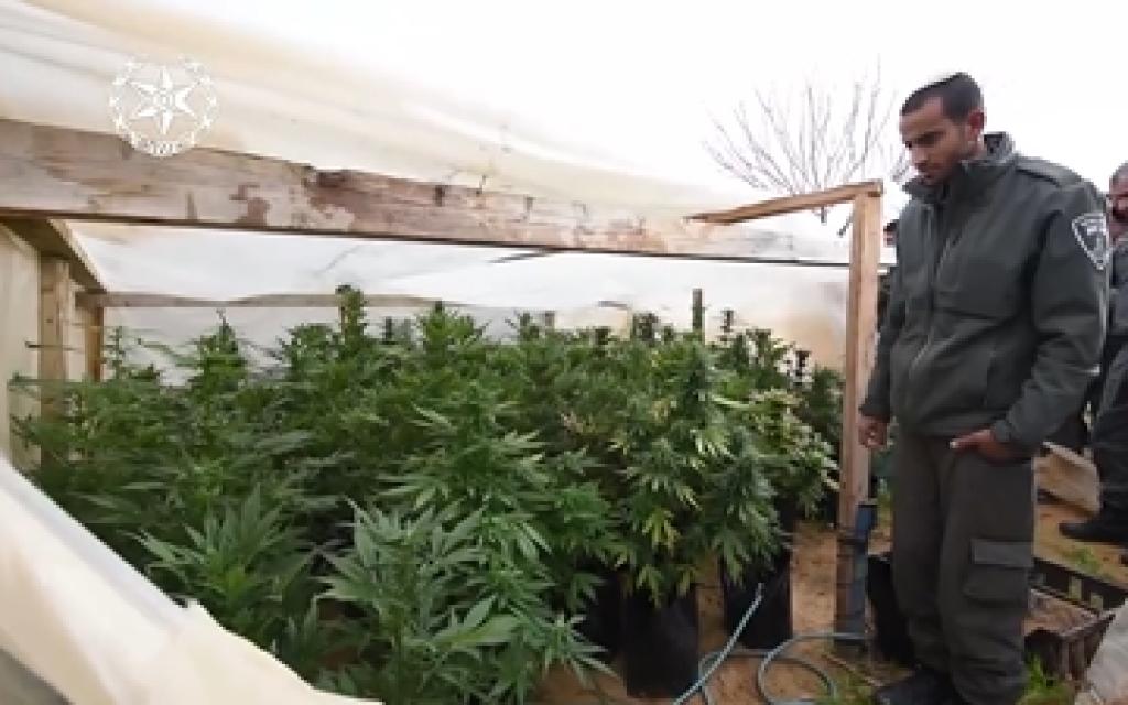 Image illustrative d'un agent de la police des frontières regardant les plants de marijuana découverts lors d'une saisie de drogue dans un village bédouin du Néguev en février 2018. (Crédit : Police israélienne)