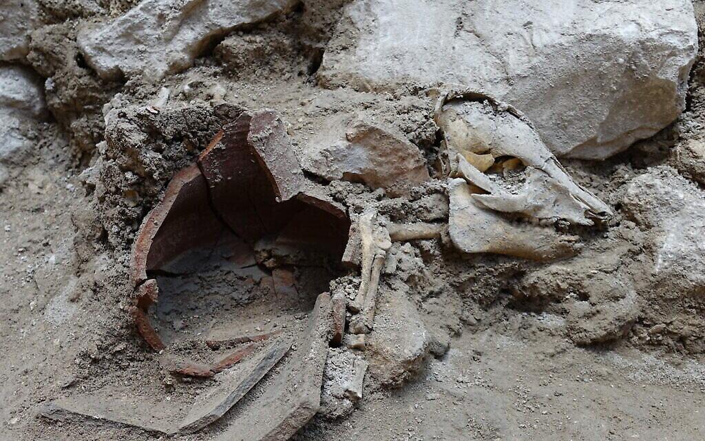 Squelette de porc articulé trouvé dans les fouilles de la Cité de David. (Crédit : Oscar Bejerano, Autorité des Antiquités d'Israël)