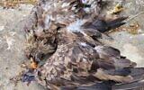 Le corps d'un aigle à queue blanche, soupçonné d'avoir été empoisonné à mort, près de Kadita en Haute Galilée, dans le nord d'Israël, le 27 juillet 2021. (Crédit : Guy Zaharoni, Autorité israélienne de la nature et des parcs)