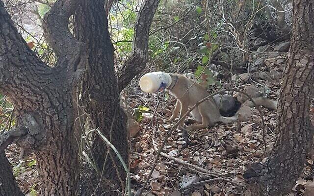 Un renard photographié avec sa tête coincée dans un récipient de mayonnaise (Crédit : Nir Hershkovitz, Autorité israélienne de la nature et des parcs)