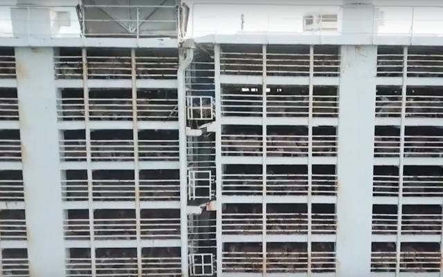 Moutons expédiés pour être engraissés et abattus dans des navires à plusieurs étages. (capture d'écran YouTube)