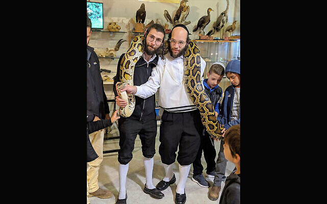Des visiteurs du Musée biblique d'histoire naturelle à Beit Shemesh, en Israël, tiennent Cuddles, le python birman dont la progéniture est en train d'éclore en 2021. (Crédit: Le musée biblique d'histoire naturelle)