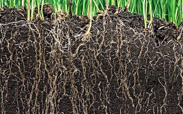 Des racines de plante. (Crédit : site des Amis de l'Université de Tel Aviv - ami-universite-telaviv.com)