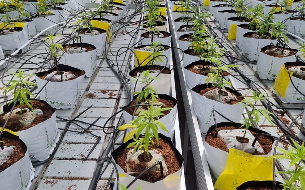 Plants de cannabis en pot de qualité médicale poussant en Israël. (autorisation de l'Agence israélienne du cannabis médical)