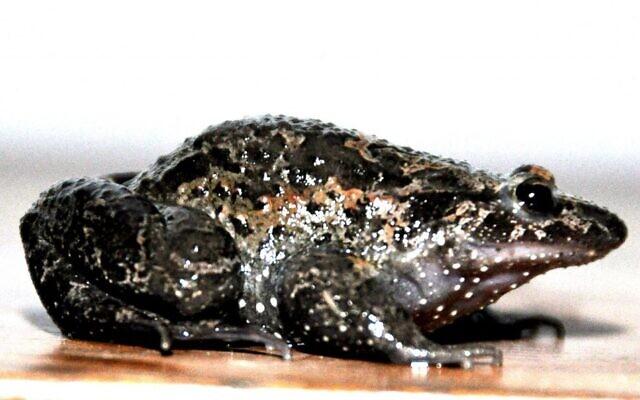 """La grenouille peinte de Hula, originaire du nord d'Israël, a été déclarée éteinte, puis redécouverte et qualifiée de """"fossile vivant"""". (Crédit : avec l'aimable autorisation de Sarig Gafny)"""