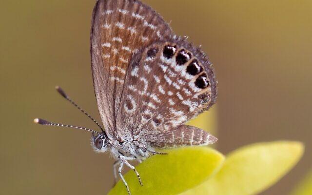 Un papillon Brephidium exilis sur du Sesuvium dans les îles Caïman. (Crédit :  Charles J. Sharp/Wikimedia Commons, CC BY-SA 4.0)