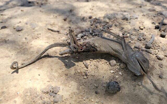 Un caméléon mort dans l'incendie qui a ravagé les collines de Jérusalem, le 17 août 2021. (Crédit : Yaniv Cohen, Autorité israélienne de la nature et des parcs)